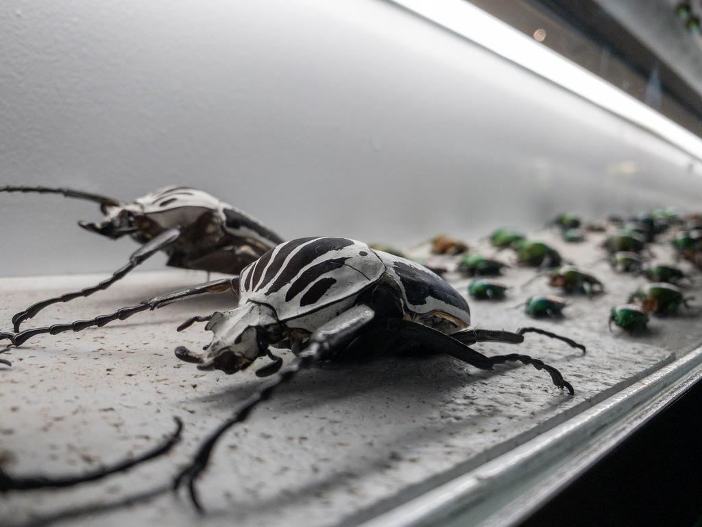 micropolis scarabées
