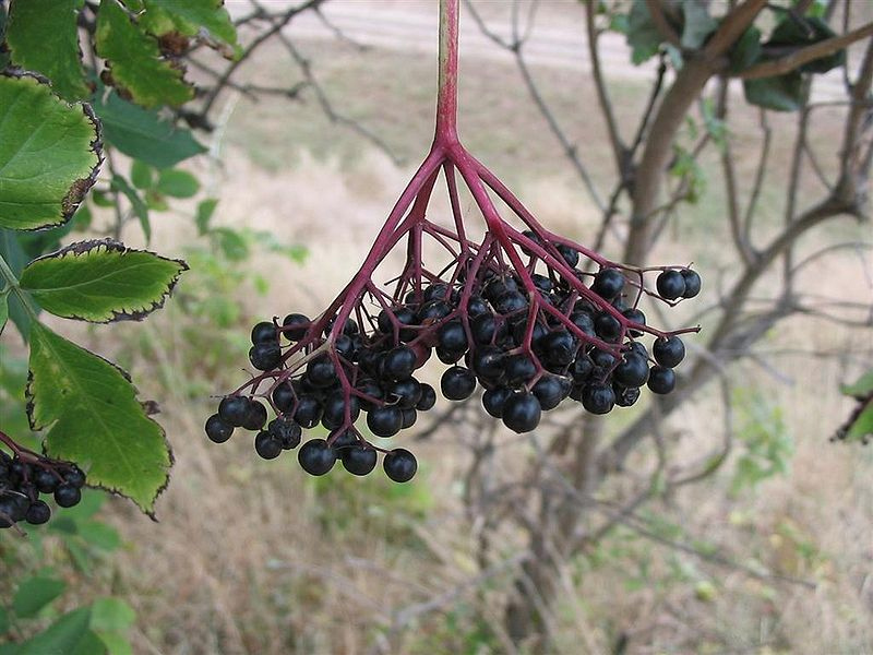 Le Sureau Noir ou Sambucus Nigra