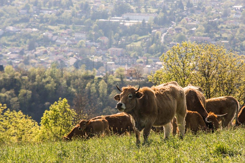 Vache de l'Aubrac